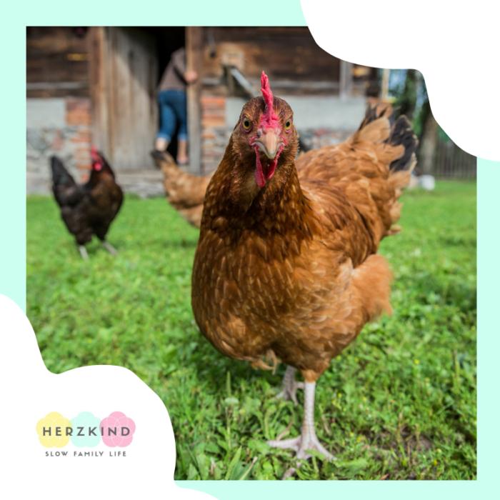 Homeschooling Hühner Biologie Projekt